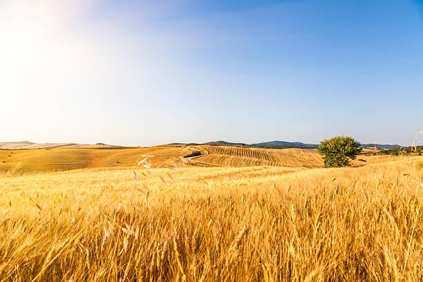 summer sun is kissing a wheat field - wheat field stockfoto's en -beelden