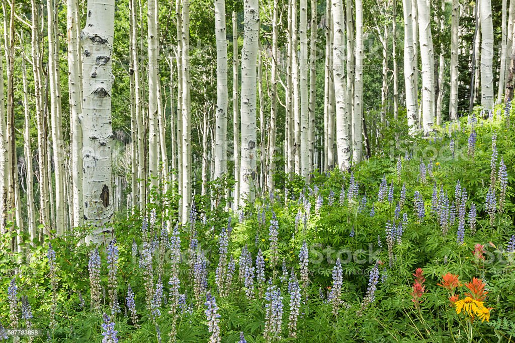 Summer Sun on Aspen and Lupine Hillside stock photo