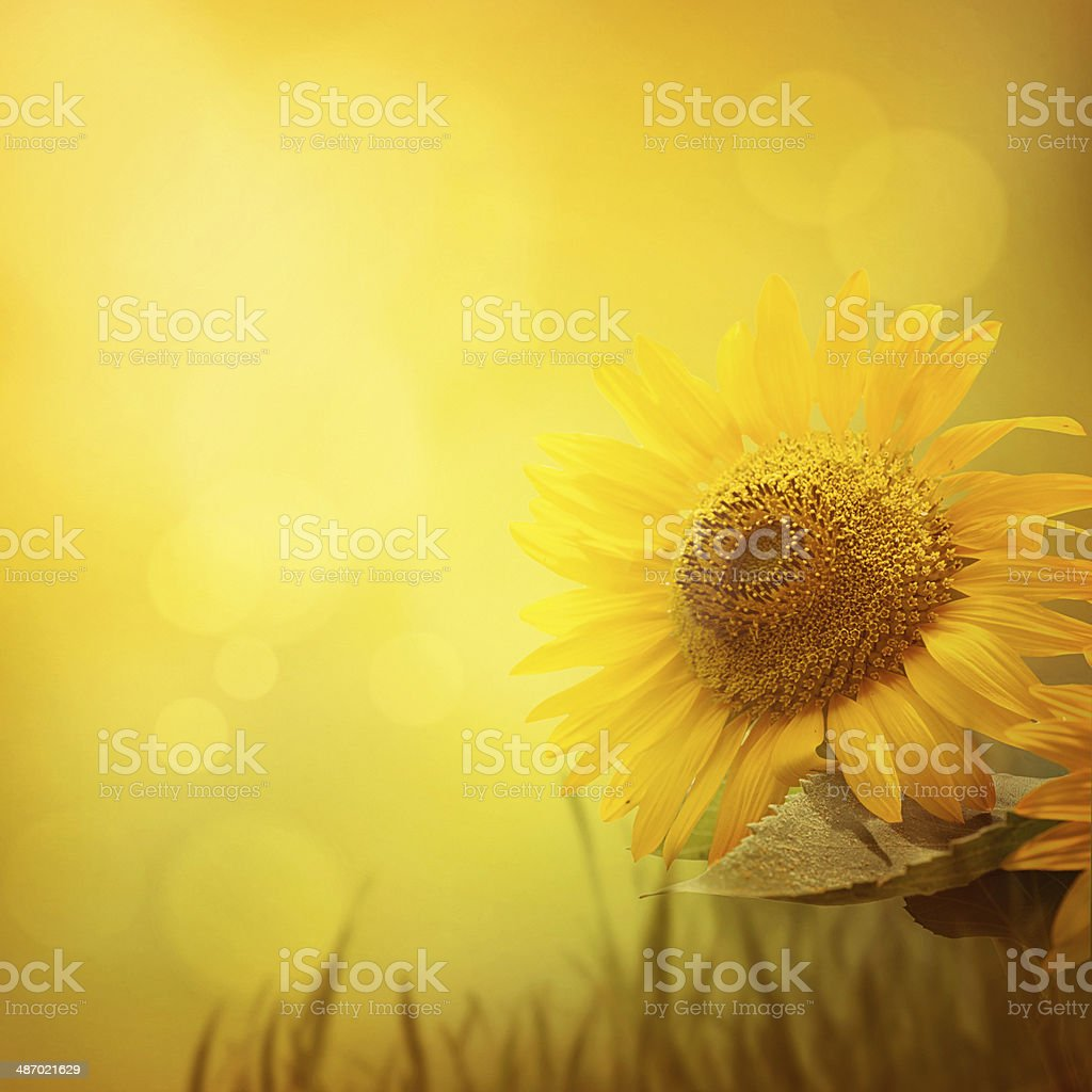 Summer sunflower background stock photo