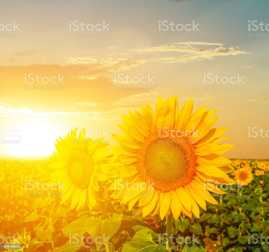summer sunflower field at the sunset royalty-free stock photo