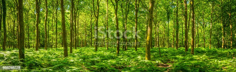 Dappled summer sunlight filtering through the leafy foliage of a idyllic woodland glade to the delicate green fern fronds carpeting the forest floor in this tranquil natural panorama.