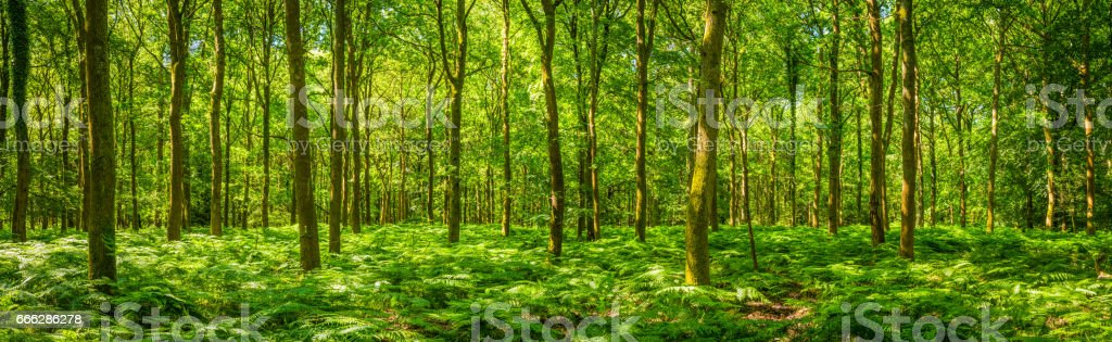 Summer sunlight warming green forest fern foliage idyllic clearing panorama stock photo