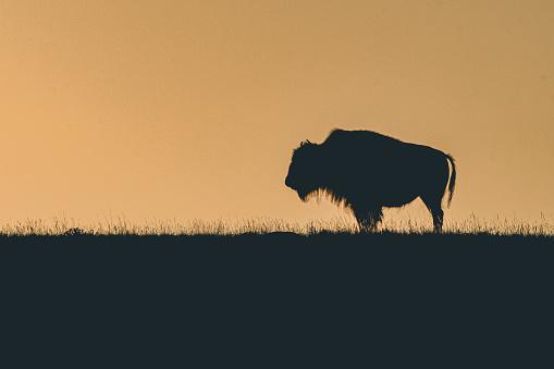 Female buffalo standing at sunrise