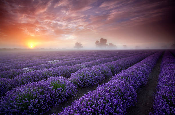 Summer sunrise over a field of lavender.  somerset england stock pictures, royalty-free photos & images