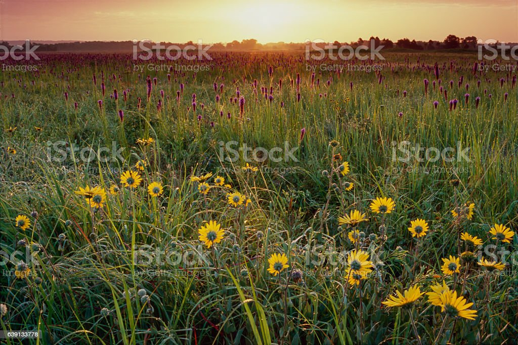 Summer Sunrise with Sunflowers and Gayfeather, Flanagan Prairie stock photo