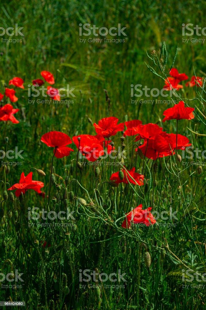Pôr do sol de verão no campo vermelho das papoilas, linda natureza - Foto de stock de Abstrato royalty-free