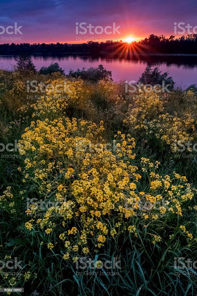 Summer sunset landscape with a river and yellow flowers stock photo