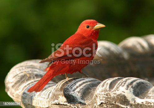 A bright red male Summer Tanager perched on a birdbath.