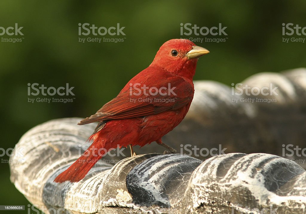 Summer Tanager at Birdbath stock photo