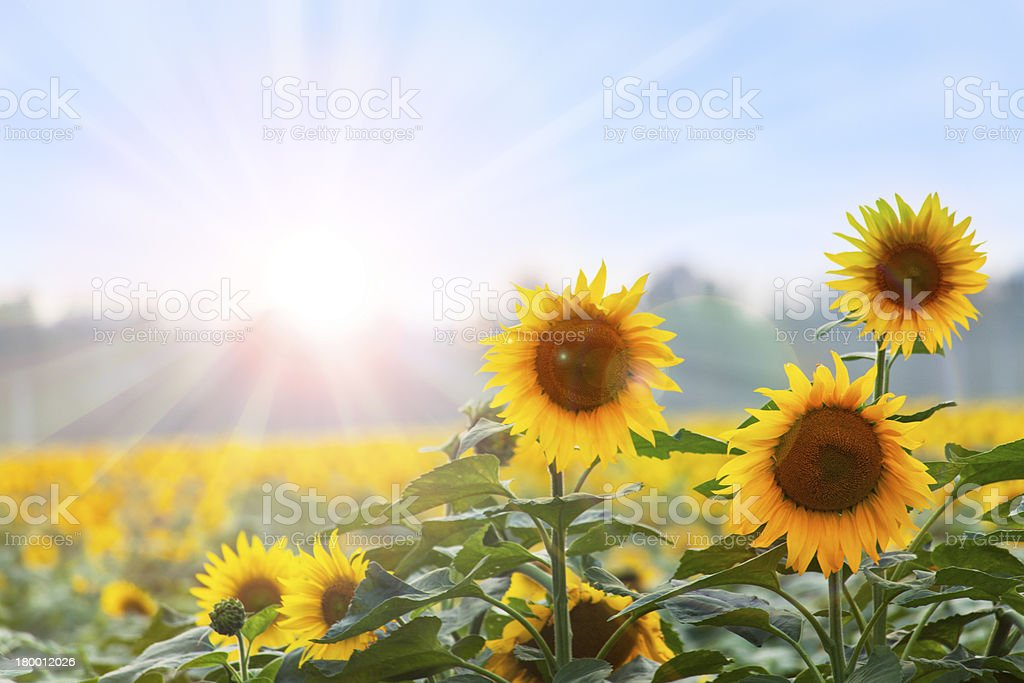 Summer time: Three sunflowers at dawn stock photo
