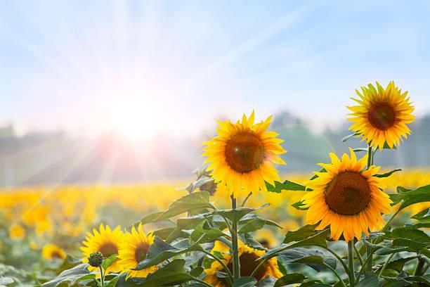 im sommer: drei sonnenblumen im morgengrauen - sonnenblume stock-fotos und bilder