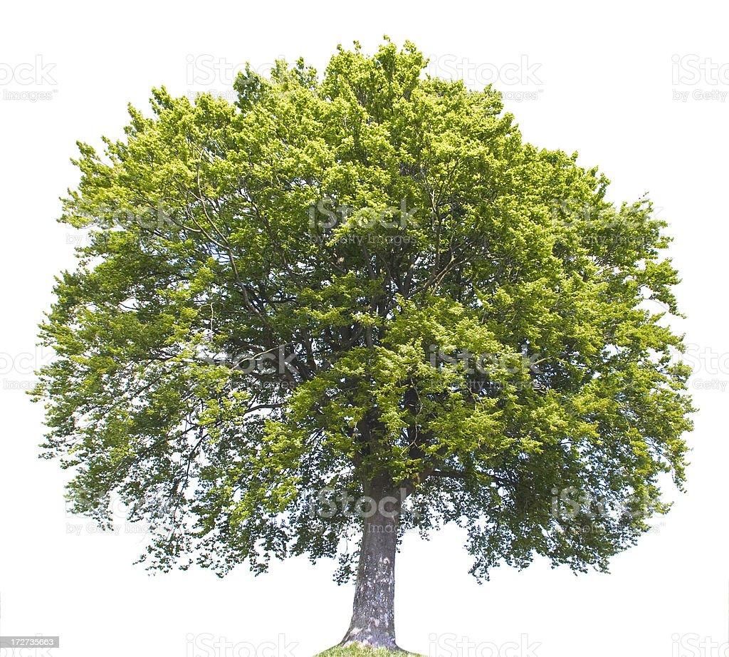Summer Tree Isolated royalty-free stock photo