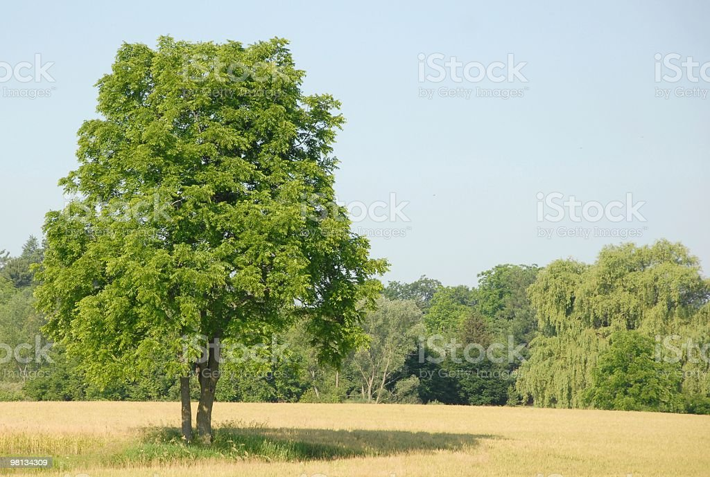 Summer tree royalty-free stock photo