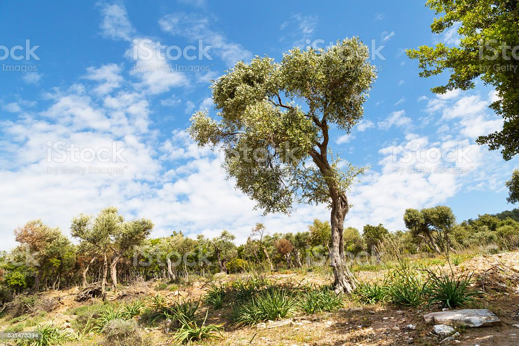 Summer vacation background with greek island Thassos, olive trees, blue stock photo