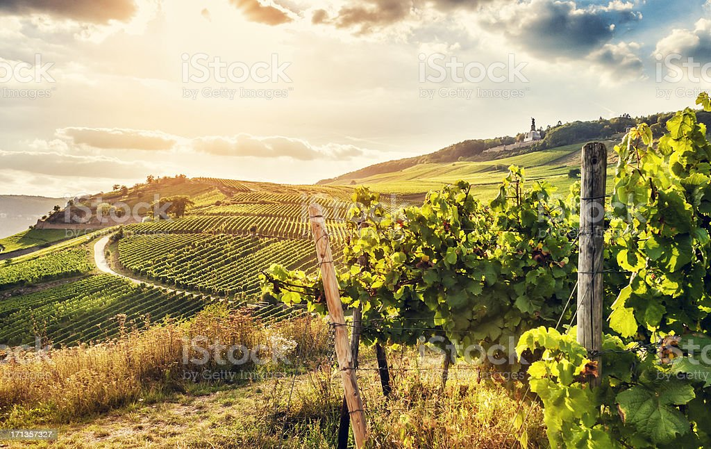 Summer vineyard stock photo