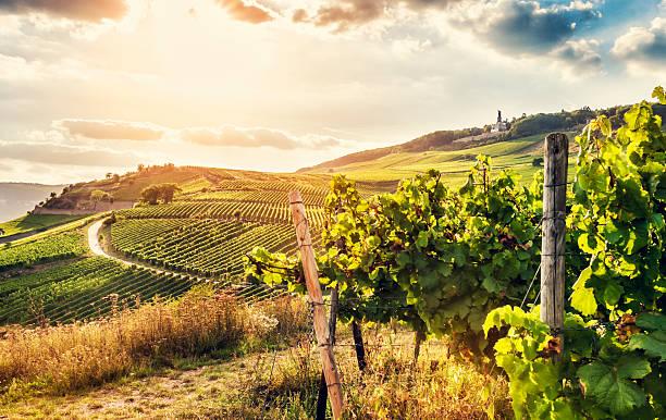 summer vineyard - vineyard bildbanksfoton och bilder