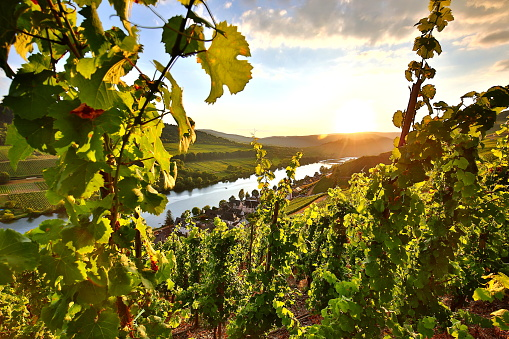 summer vineyards at mosel valley in germany
