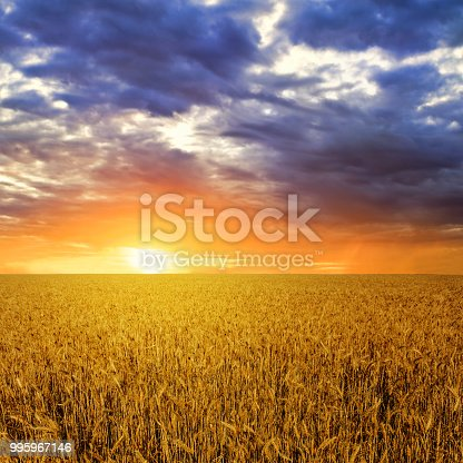 summer wheat field at the dramatic sunset