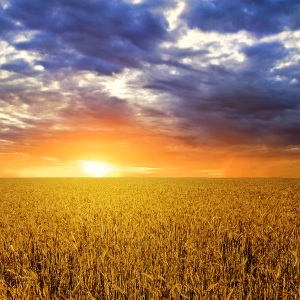 summer wheat field at the dramatic sunset summer wheat field at the dramatic sunset abundance stock pictures, royalty-free photos & images