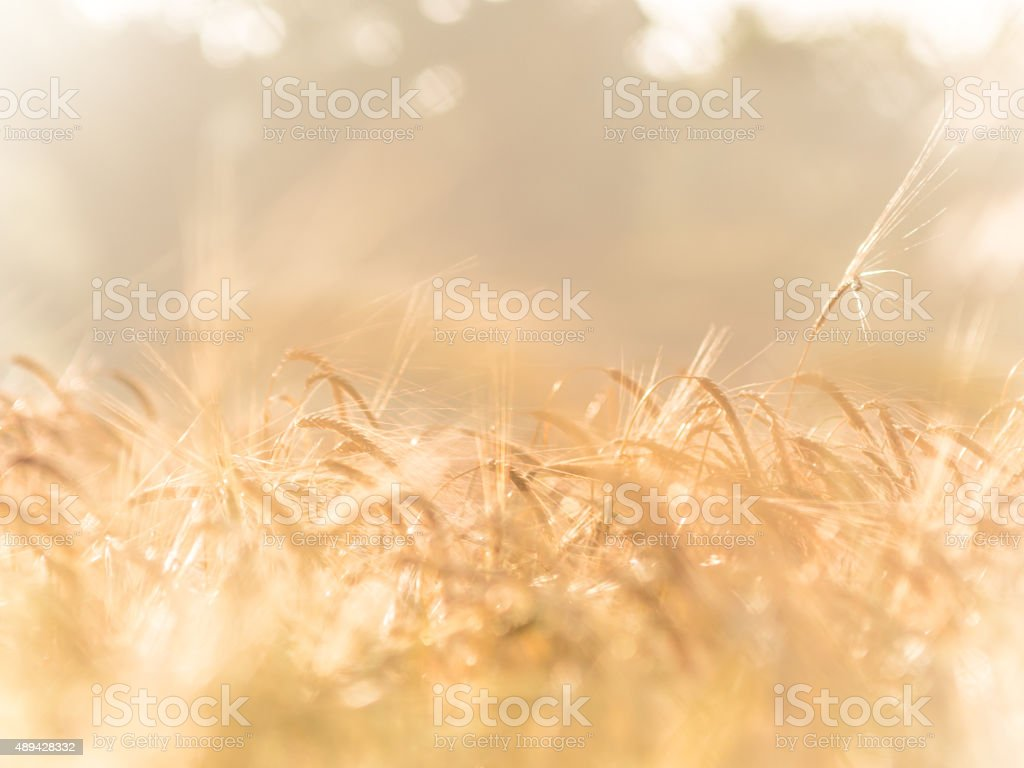 Summer Wheat field stock photo