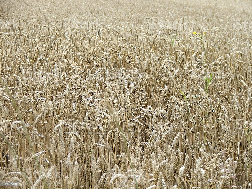 summer wheat field royalty-free stock photo