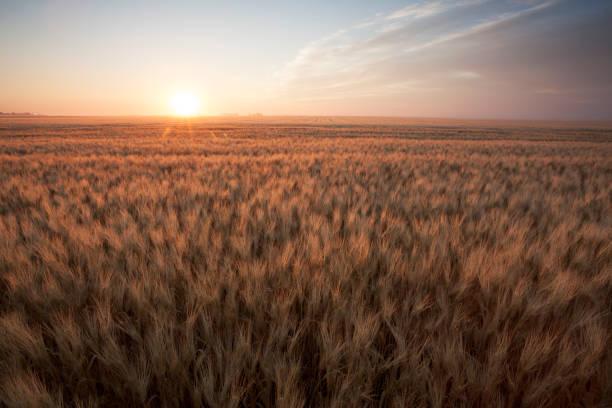 Summer Wheat Field Saskatchewan Canada stock photo