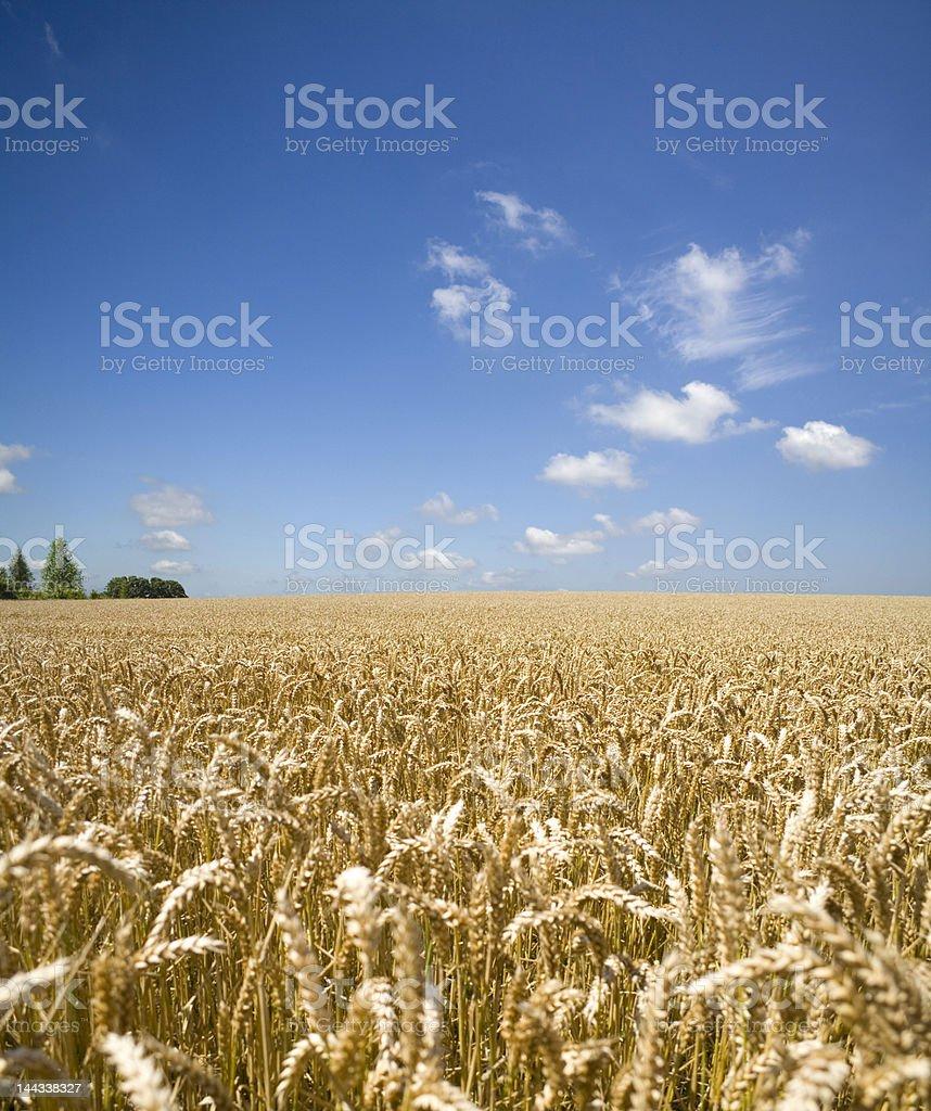 Summer Wheat royalty-free stock photo