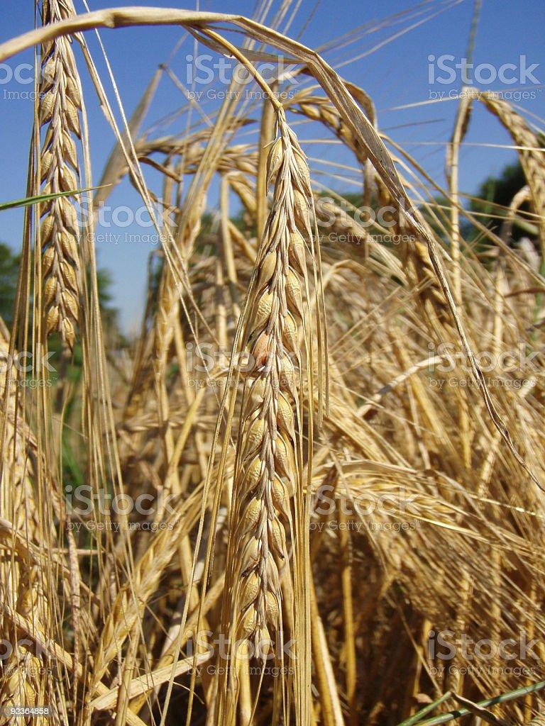 Sommer Weizen Lizenzfreies stock-foto