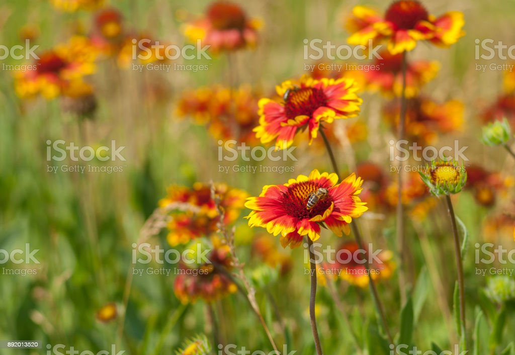 Summer wild field with beautiful feral Indian blanket flowers stock photo