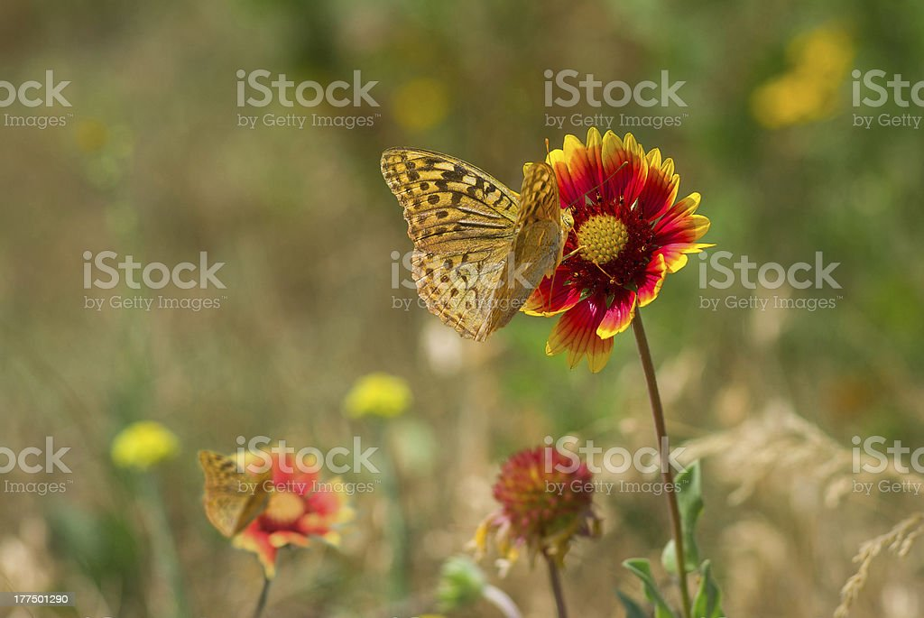 Summer wild field with feral Indian blanket flowers stock photo