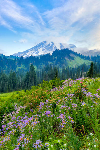 Summer wildflowers blooming with Mount Rainier in the background Summer wildflowers blooming with Mount Rainier in the background mt rainier stock pictures, royalty-free photos & images