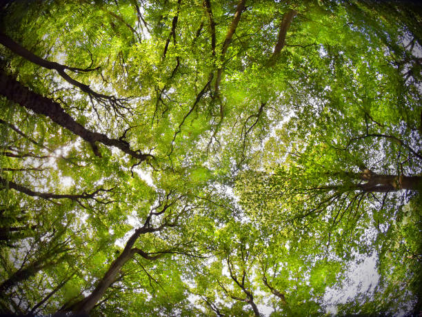 Dosel de bosque de verano - foto de stock