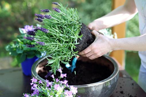 Female plants in pot lavender