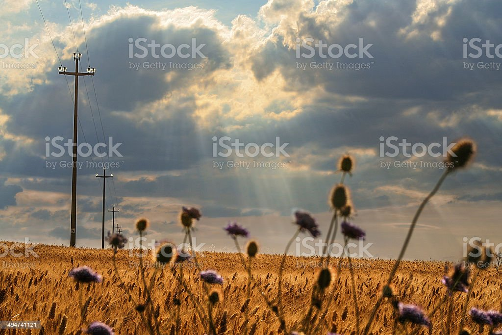 SUMMER.Rural landscape: field of wheat. - (Apulia) ITALY- stock photo