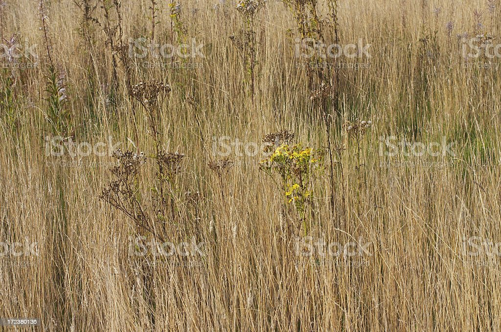 Brown field autumn grass and ragwort on Mitcham Common stock photo