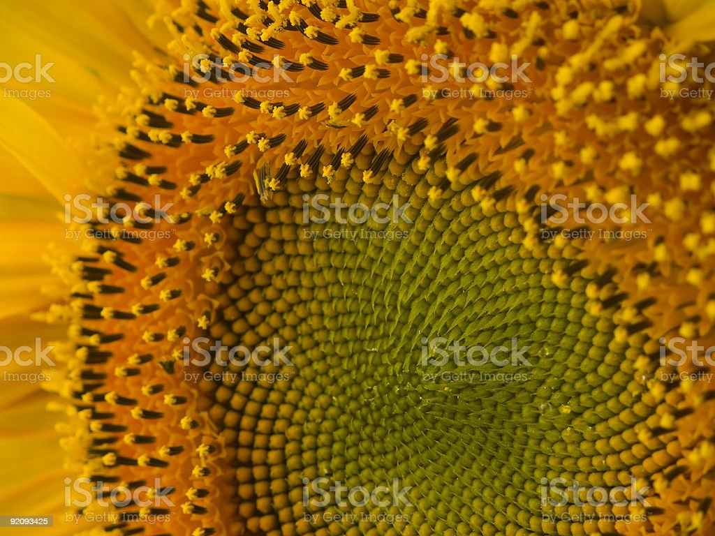 Summer's Sunflower Pattern and Pollen royalty-free stock photo