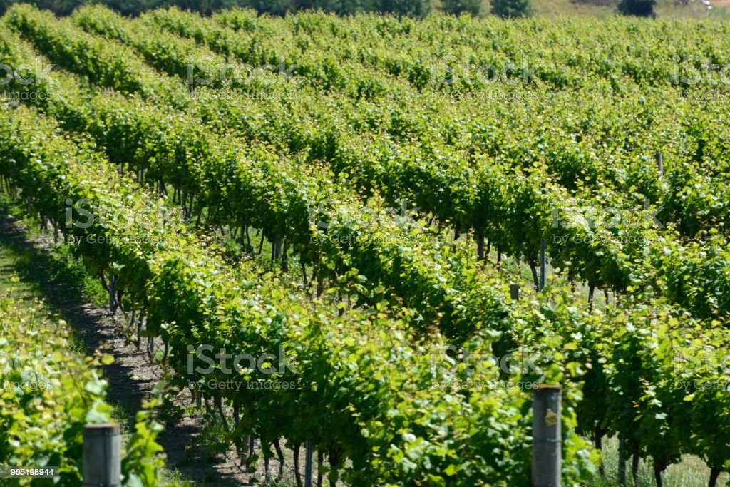 Summertime in the vineyard royalty-free stock photo