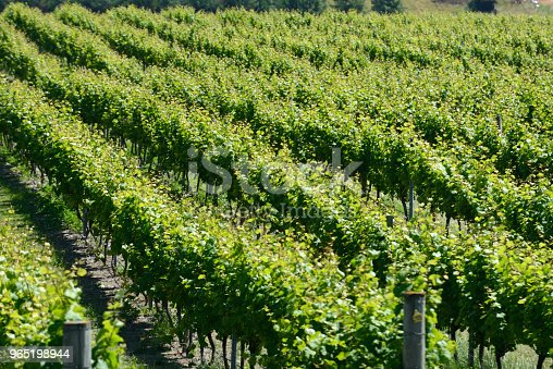 Summertime In The Vineyard Stock Photo & More Pictures of Agriculture