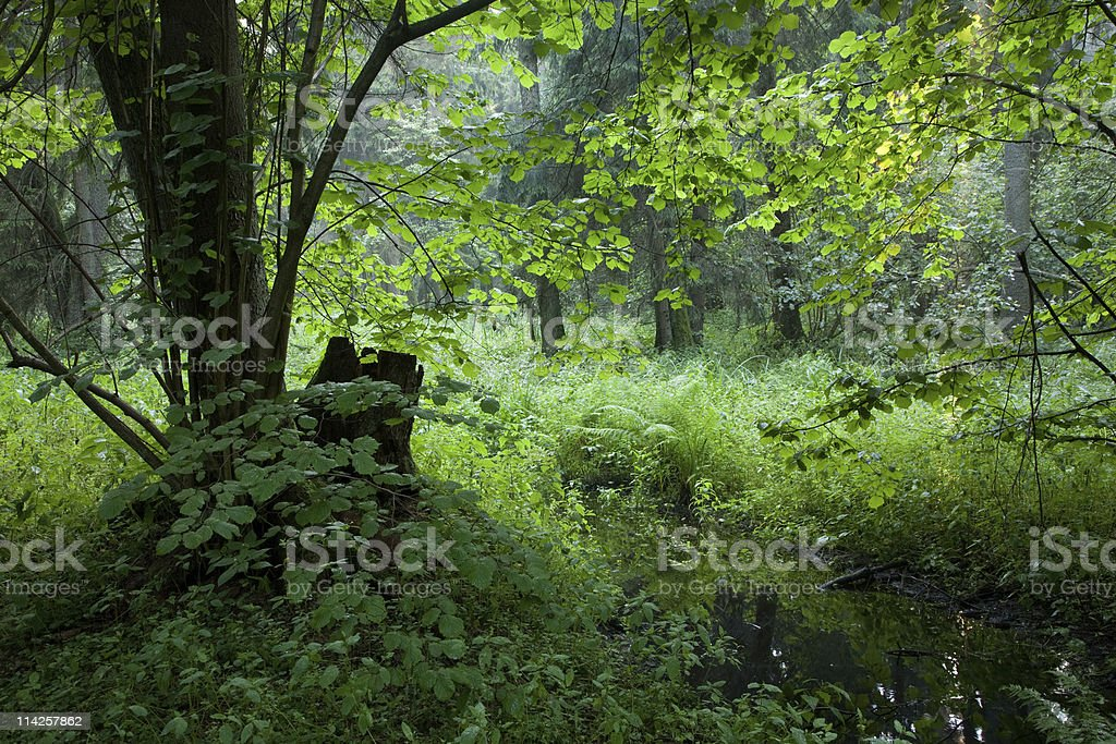 Summertime look of deciduous stand with little stream royalty-free stock photo