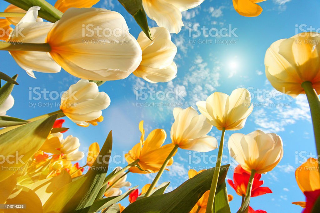 Summertime: sunny sky with colorful tulips flowers, looking up stock photo