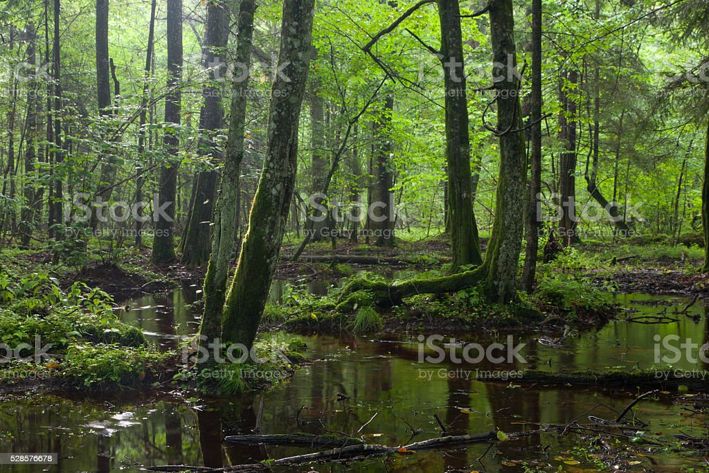 Summertime sunrise in wet deciduous stand of Bialowieza Forest stock photo
