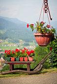 red geranium in a pot