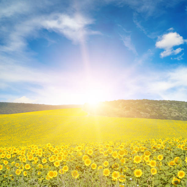Sun above sunflower field picture id946247024?b=1&k=6&m=946247024&s=612x612&w=0&h=jh5 qtsdg5o6ix5i9iom6uqwmkwv80hxh4yhrd9fkqu=