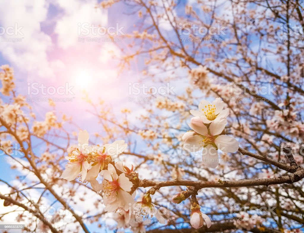 sun almond tree flowers spirng blue sky background stock photo
