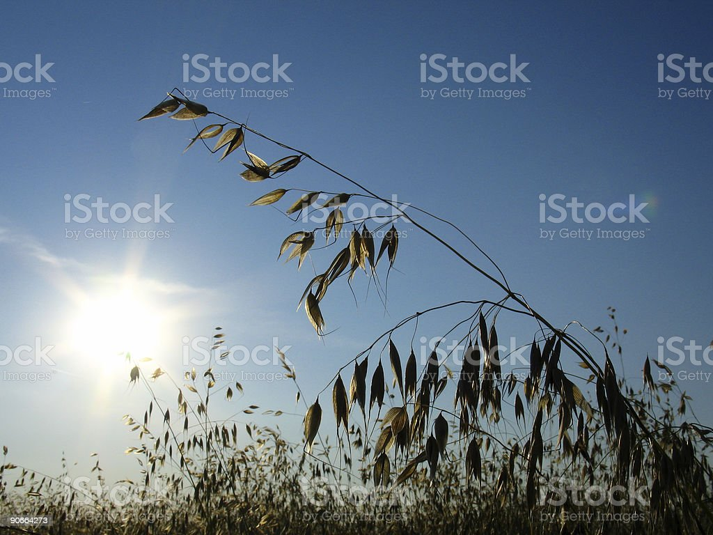Sun and golden oats royalty-free stock photo