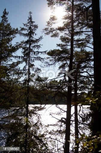 Sun and tall trees