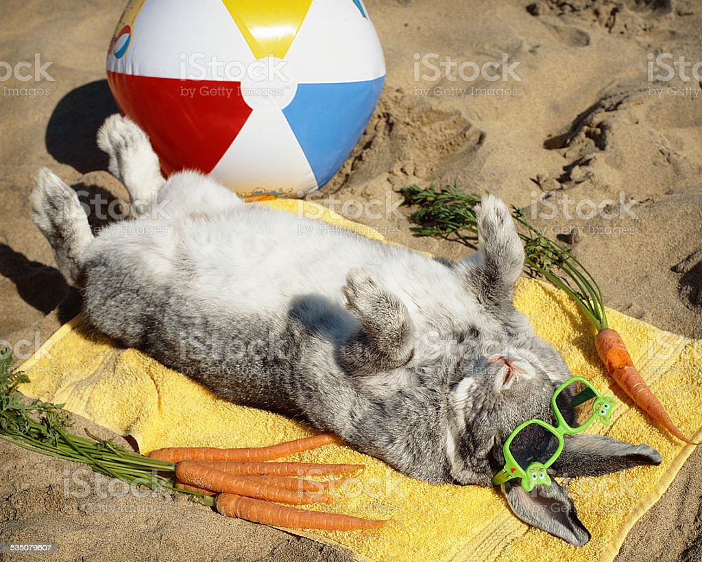 Sun bathing bunny rabbit vacations on the beach stock photo