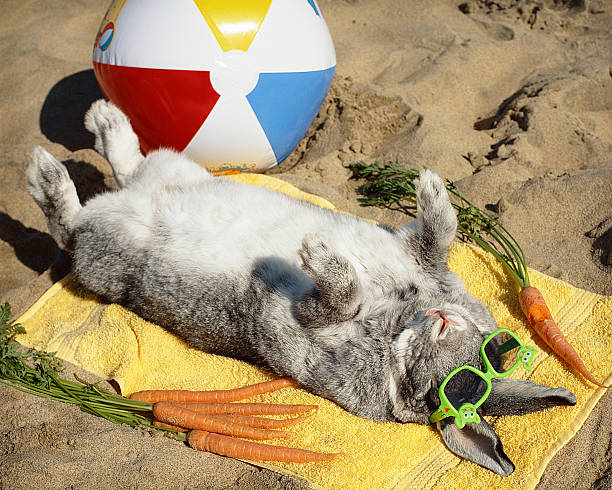 Sun bathing bunny rabbit vacations on the beach stock photo
