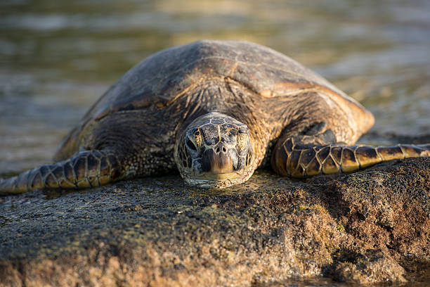 sun bathing sea turtle - leatherback stockfoto's en -beelden