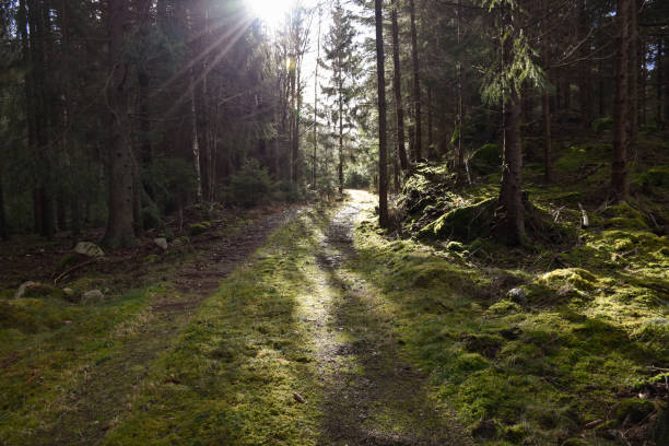 Sun beams by a mossy forest road stock photo